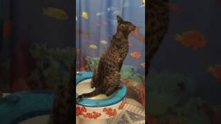 Troy the savannah cat using toilet to go pee