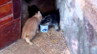 Котята едят коттедж (мягкий творог)