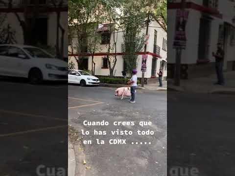 Mujer pasea un cerdo en calles de la CDMX