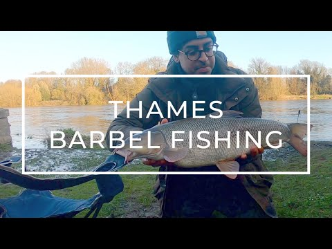 Thames Barbel Fishing | Little Bear, The Swan And The Mixed Bag | Weird Things When Fishing