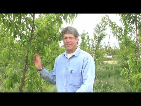 Organic Fruit from Ela Family Farms Hotchkiss CO