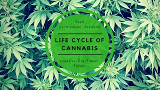 Full Life cycle of the cannabis plant. Explained in mins!!!