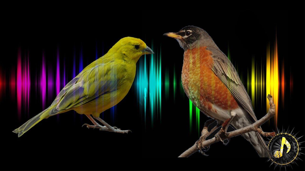 Bird Singing Sound Effect ~ Free Sound Effects