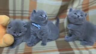 Британским котятам 1 месяц. П-к Silvery Snow