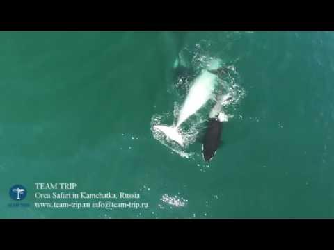 Drone'la Kaydedilen Görüntülerle, Balina Yiyen Katil Balinalar