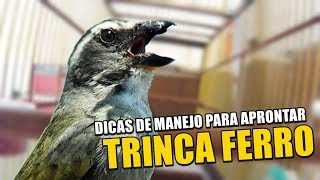 DICAS DE MANEJO PARA APRONTAR SEU TRINCA FERRO 🔥