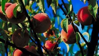 How to Maintain a Peach Orchard | P. Allen Smith Cooking Classics