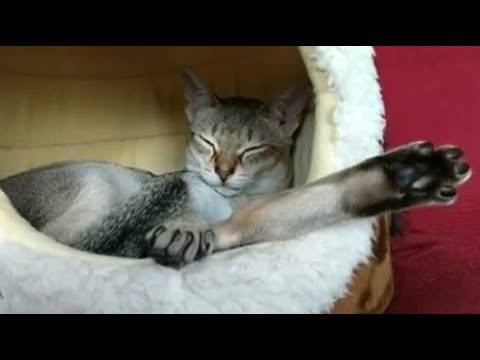 Cute Singapura Cat  So Tired After Watching Movie