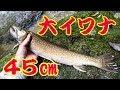 渓流イワナ 45cm・記録更新 の動画、YouTube動画。