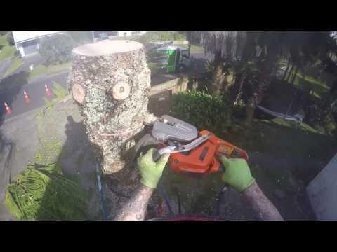 Norfolk Island Pine removal!