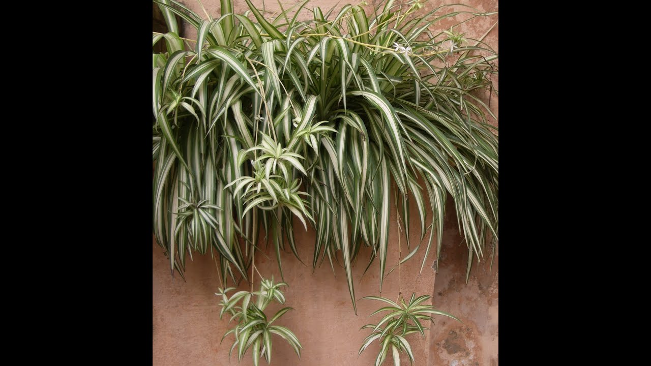 ... Garden Design with How to Grow the Spider Plant VERY Easy To Do!  YouTube with