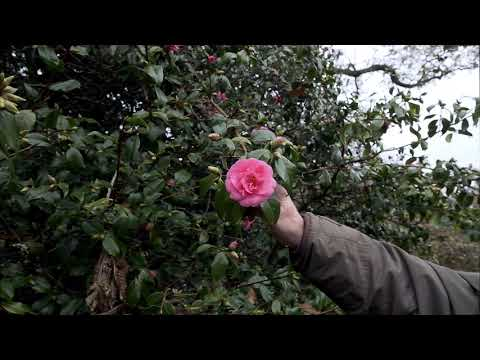 Early flowering forms of camellia williamsii