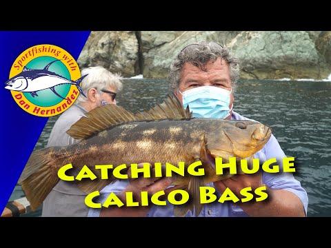 Huge Calico Bass