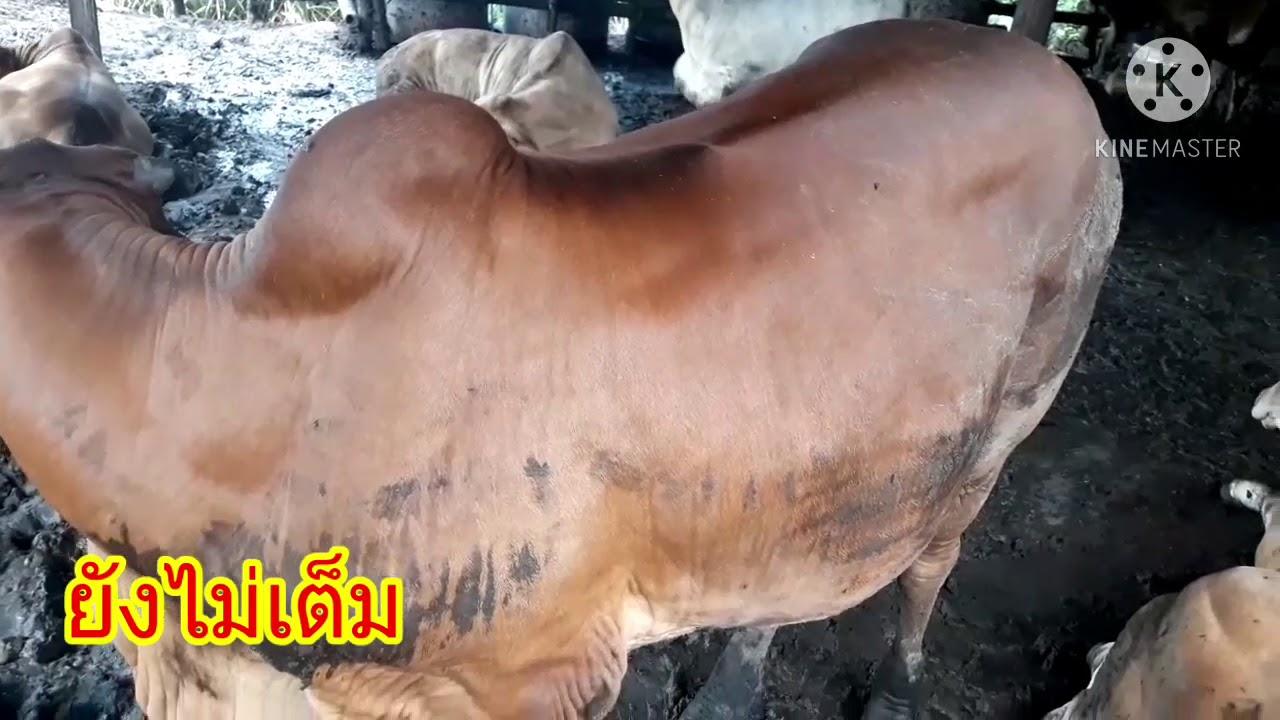 ลักษณะวัวขุนที่เต็มและไม่เต็ม4เดือนราคาซื้อเข้า23,000บาท นันท์บ้านนาเมืองเพชร