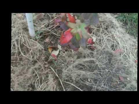 Голубика. Уход за голубикой осенью. Подготовка голубики к зиме.