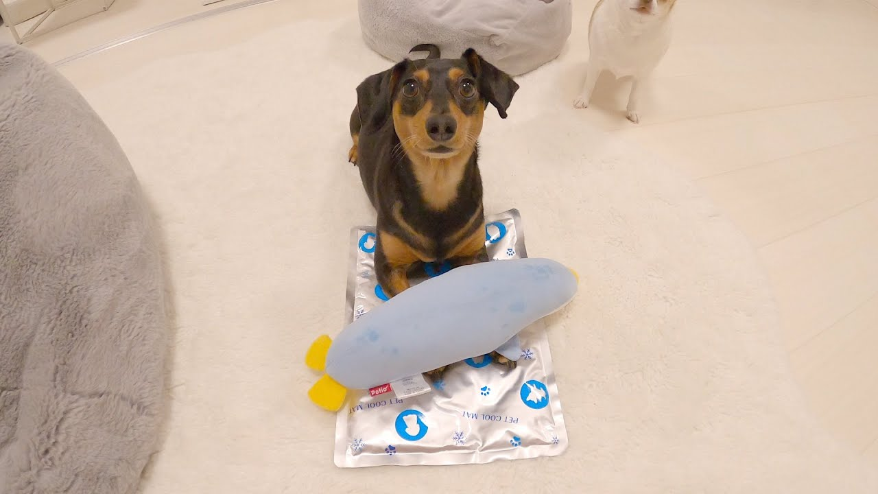 ひんやりグッズに興味ないフリしたクセにちゃっかり冷えちゃってる犬