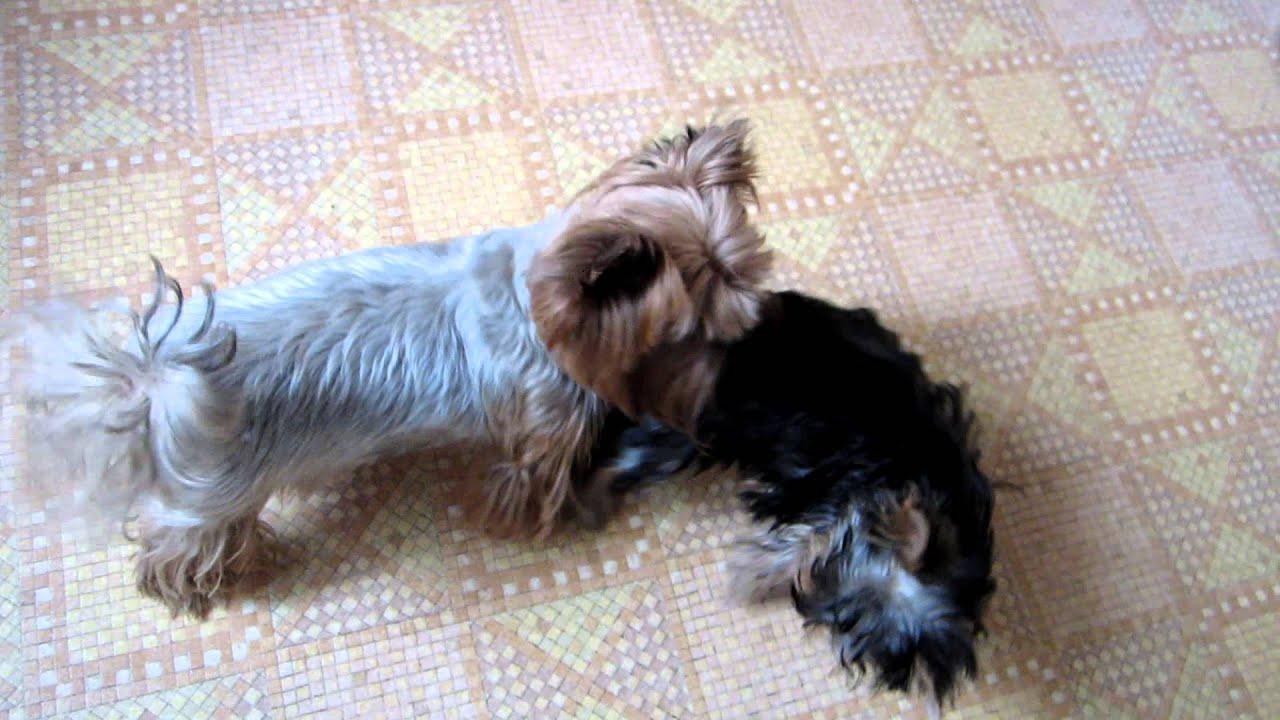 Свирепый щенок хочет кусаться! Йоркширский терьер - YouTube