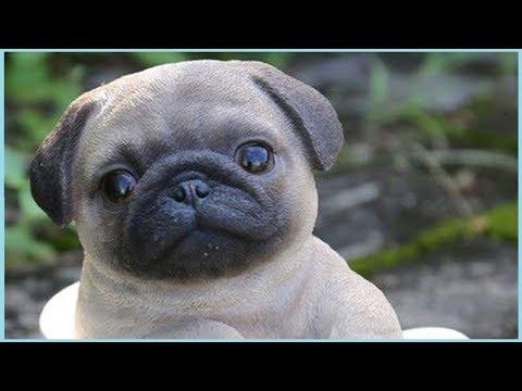 Cutest Puppy Breeds Part 1