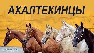 Небесные кони #Ахалтекинцы #ИППОсфера Породный ринг Северная Звезда #AkhalTekehorse
