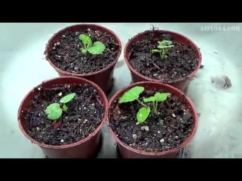 Выращивание Герани из семян. Скарификация, посев, уход за сеянцами