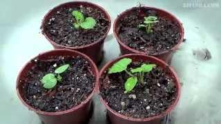 видео Как вырастить герань из семян в домашних условиях?