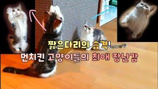 [ENG]짧은 다리의 습격!먼치킨 고양이들의 최애 장난…