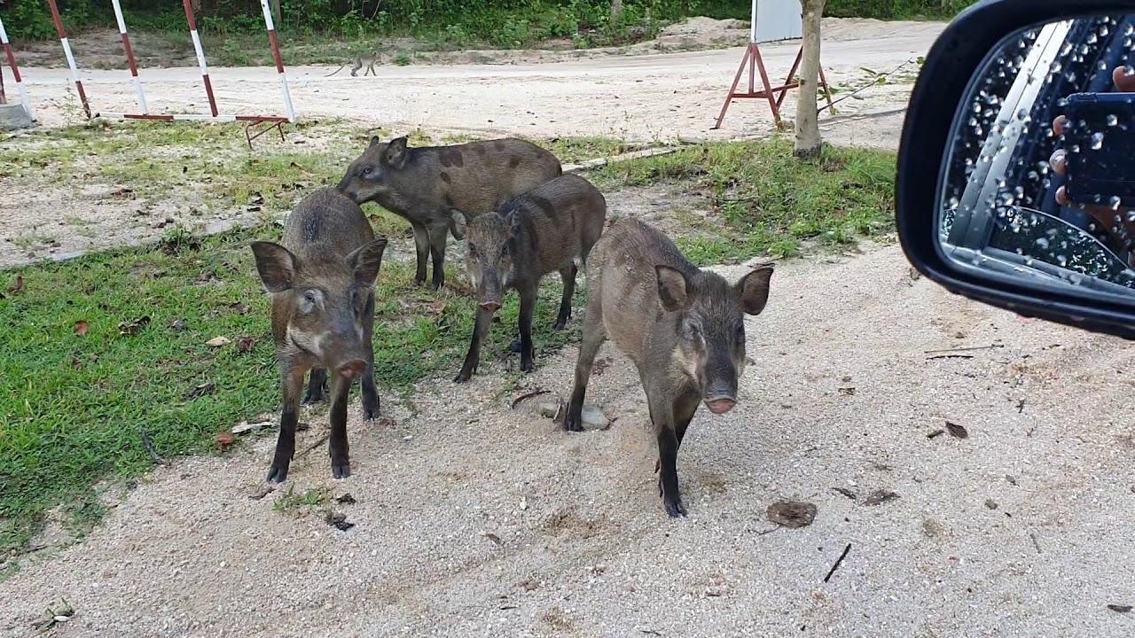 ជ្រូកព្រៃច្រើនណាស់ នៅលើភ្នំតាម៉ៅ - Wild boar at Phnom Tamao in Cambodia