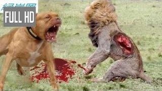 【動物 戦い 】最も驚くべき野生動物の攻撃 - カバのライオン、ライオン...