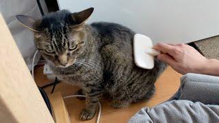 てん→さわりすぎるとブチギレるメスの狂暴猫。ごく稀に甘えてくることがある。 ・ごん→食べ物にしか興味がないオスの食いしん坊の実家猫...