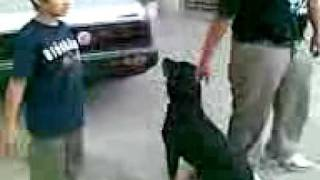 Rottweiler Kali With Ali & Shayan