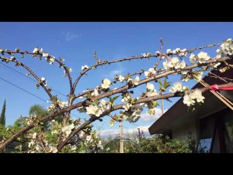 Growing cherries - maximise flowering