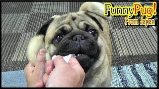 うちのパグの歯磨きの仕方を公開する動画です。 毎晩、寝る前に歯磨きを...