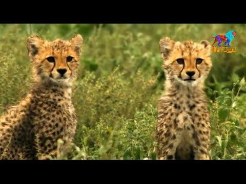 Wild Fauna /Гепард /Цена скорости / Часть-2