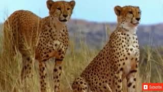 Lion vs Leopard   Most Amazing Moments Of Wild Animal Fights   Wild Discovery Animals 2018
