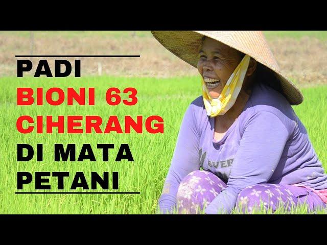 Keunggulan Padi Bioni 63 Ciherang yang Dirasakan Petani