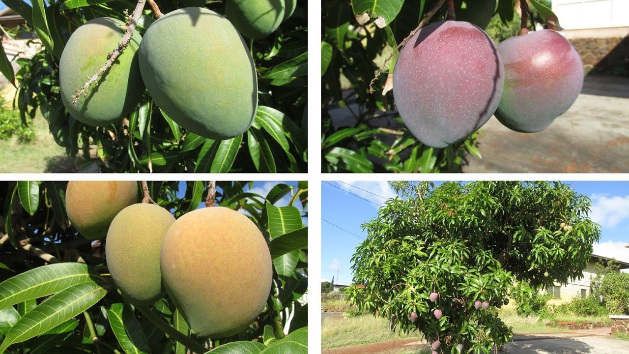 Exceptional Multiple Grafted Fruit Trees Part - 8: Multi-grafted Mango Tree With Different Kinds Of Fruits!
