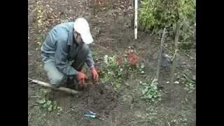 Ежевика садовая Торнфри  размножение.(http://sad-lopatina.org.ua Видео о размножении садовой (плетистой) еживики. Для тех кто хочет размножить имеющуюся..., 2014-02-01T19:02:06.000Z)