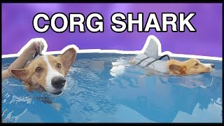 Corgi's First Swim! (Shark Life-Jacket)
