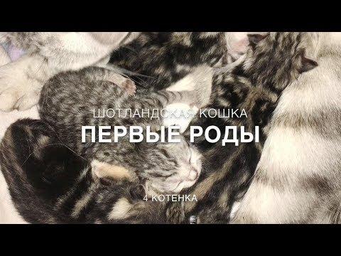 Первые роды шотландской кошки