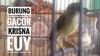 Video Burung Kolibri gacor banget | hummingbird sounds good download MP3, 3GP, MP4, WEBM, AVI, FLV Agustus 2018