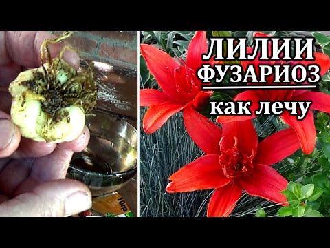 Чем болеют лилии и как их лечить