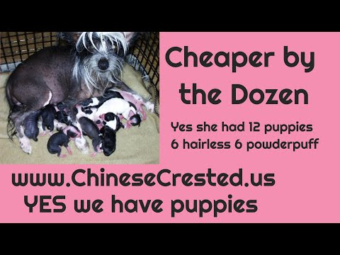 Chinesecrested  Puppies