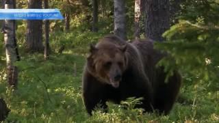 Школьник спасся от медведя, сидя на дереве