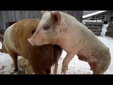 Raising Pigs-  Can A Small Boar Successfully  Mate GIANT Sow? thumbnail