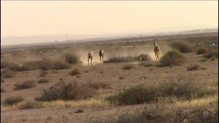 صيد الأرانب بالسلوقي الاسباني بالجزائر