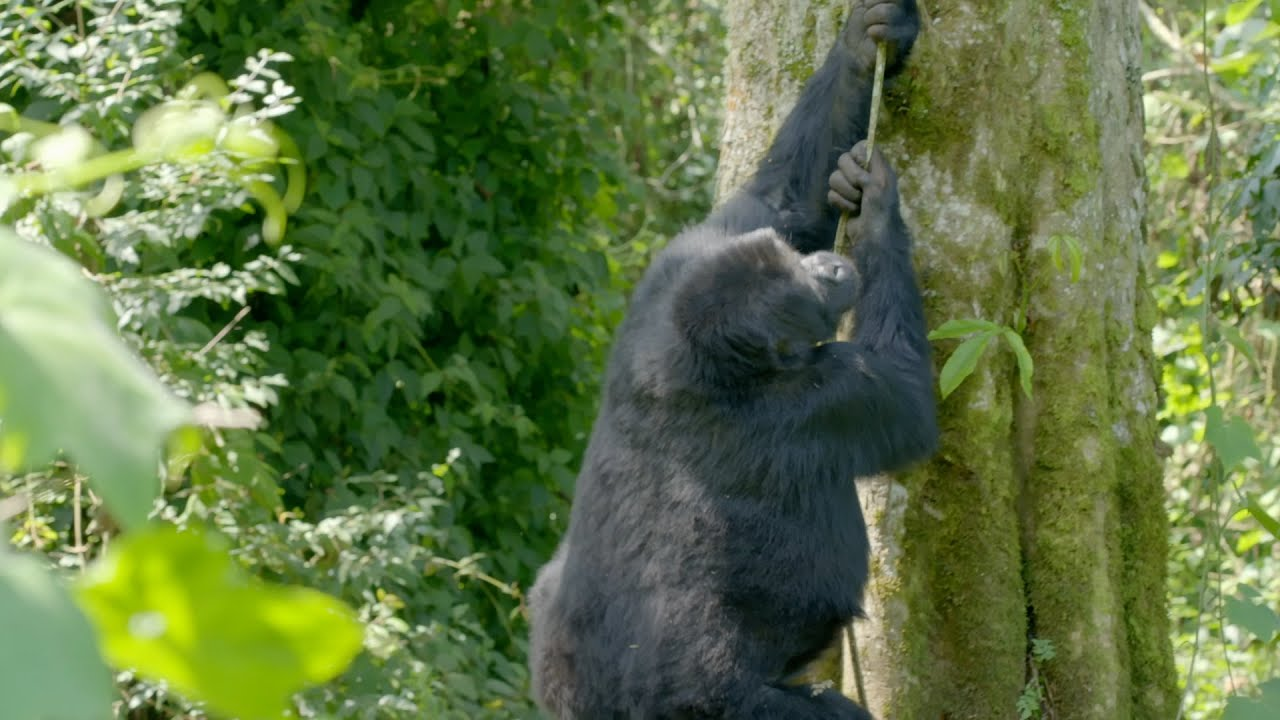 Gorillas falling from trees - Gorilla Family & Me: Episode 2 Preview - BBC Two