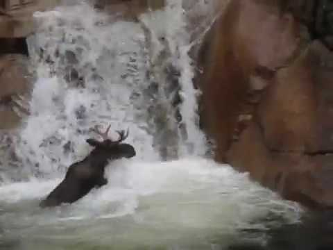 Moose in a Waterfall at the Flume Gorge - White Mountains, NH
