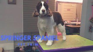 Springer Spaniel Grooming: Pet Trim