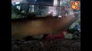 ikan arwana perak terbesar berusia lebih 6 tahun