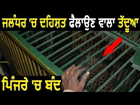 Jalandhar में दहशत फैलाने वाला तेंदुआ पिंजरे में बंद